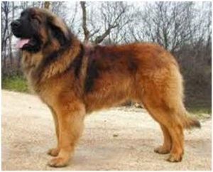 Razas de perro leonberger